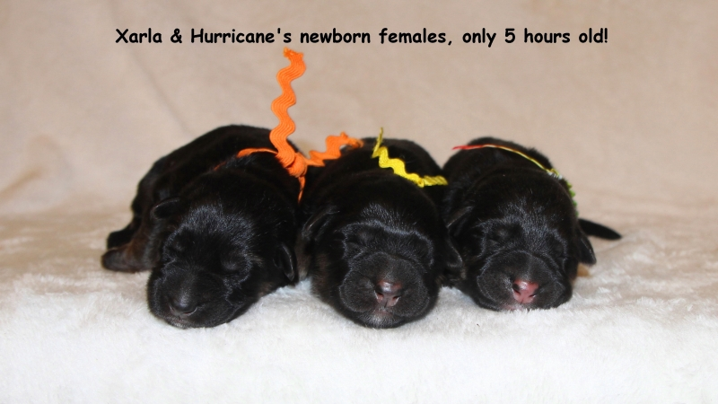 Hurricane Xarla Females 1