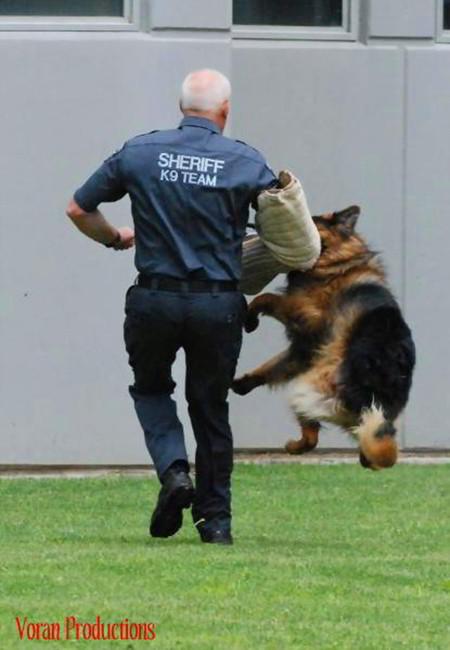 Mittelwest German Shepherds Narcotics Detection K-9 Dogs 3