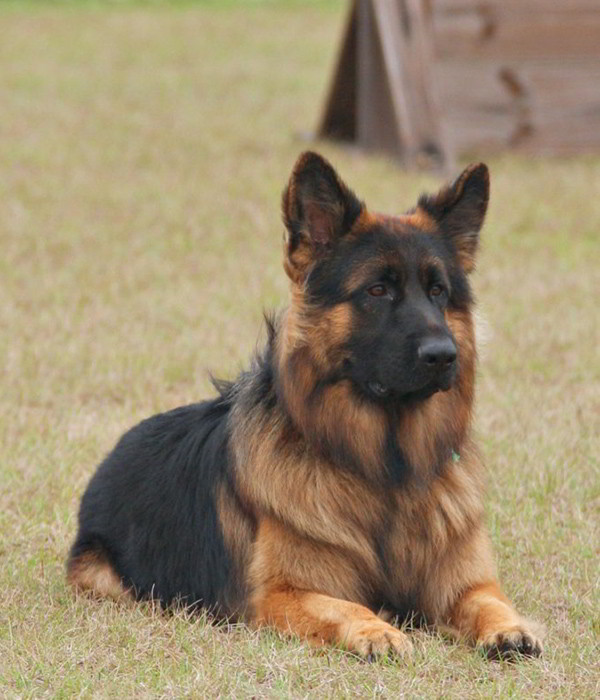 Mittelwest Military Trained German Shepherds 2