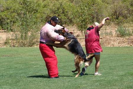 Ring Sport At Mittelwest German Shepherds 1