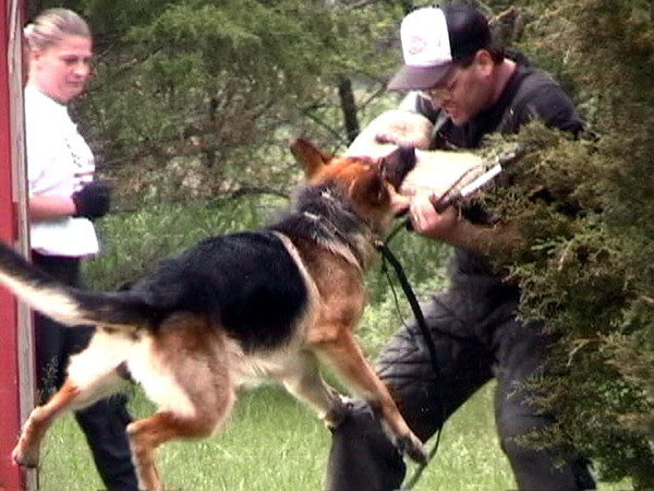 Schutzhund Training At Its Finest With Mittelwest German Shepherds 2