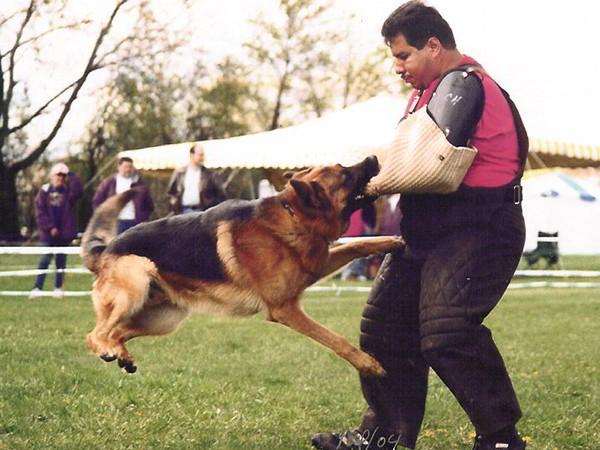 Schutzhund Training At Its Finest With Mittelwest German Shepherds 5