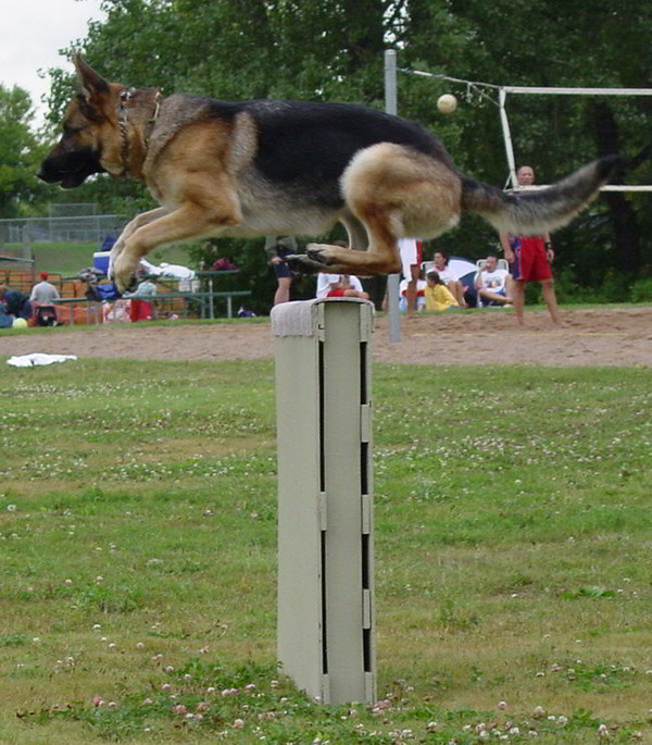 Schutzhund Training At Its Finest With Mittelwest German Shepherds 6