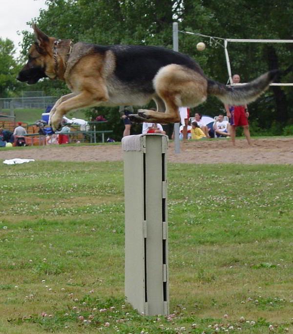 Schutzhund Training At Its Finest With Mittelwest German Shepherds 6