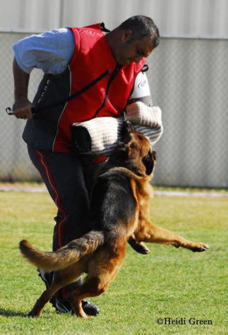 The Champion Universal Seigers Of Mittelwest German Shepherds 1