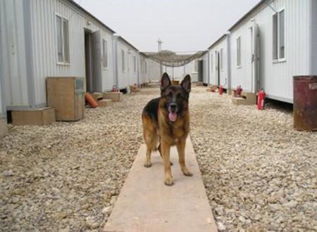 The Multi Purpose K-9 Dogs Of Mittelwest German Shepherds 2