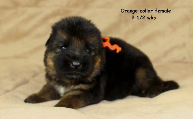 Xarla 2.5 Weeks Orange