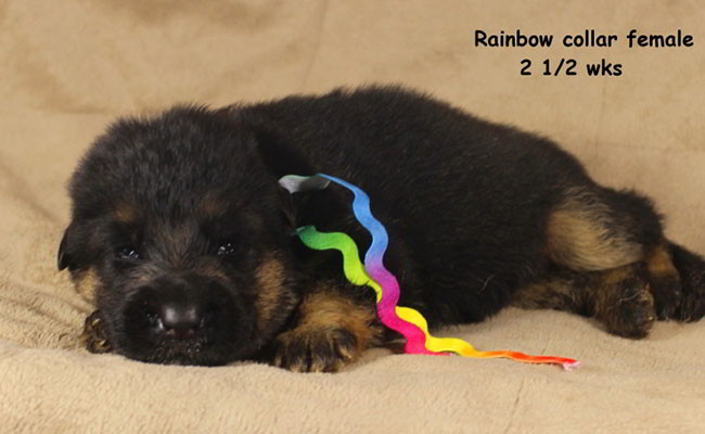 Xarla 2.5 Weeks Rainbow