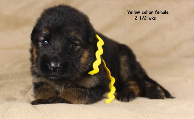 Xarla 2.5 Weeks Yellow