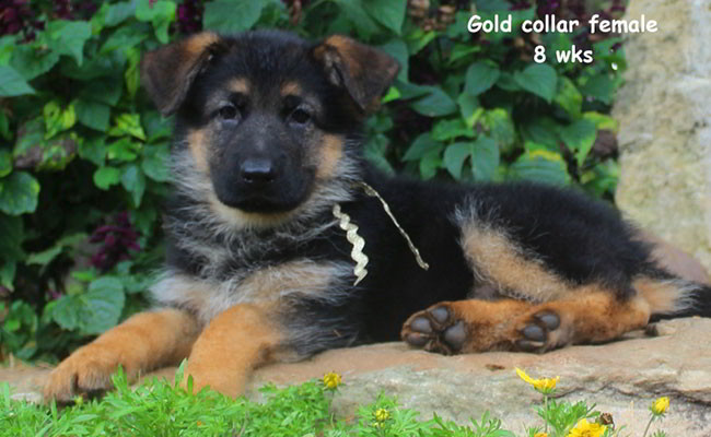 Xarla 8 Weeks Gold