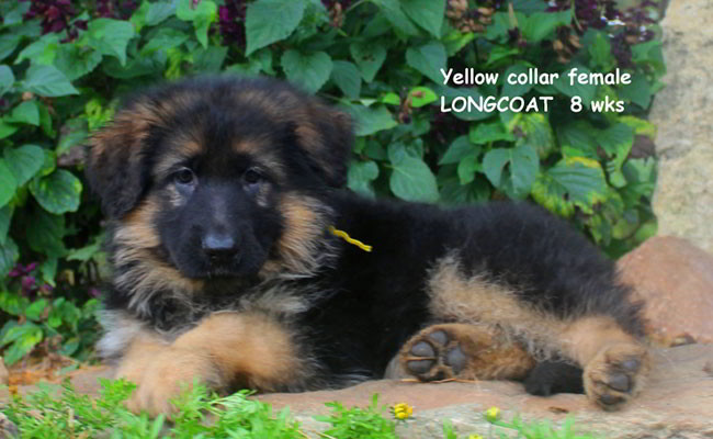 Xarla 8 Weeks Yellow