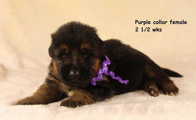 Zuma 2.5 Weeks Purple