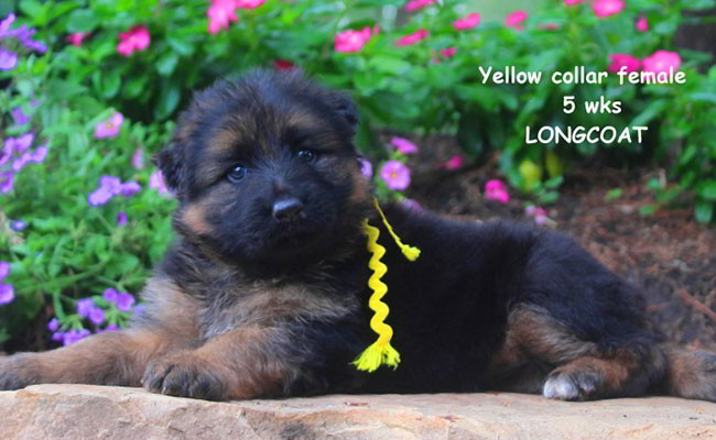 Zuma 5 Weeks Yellow