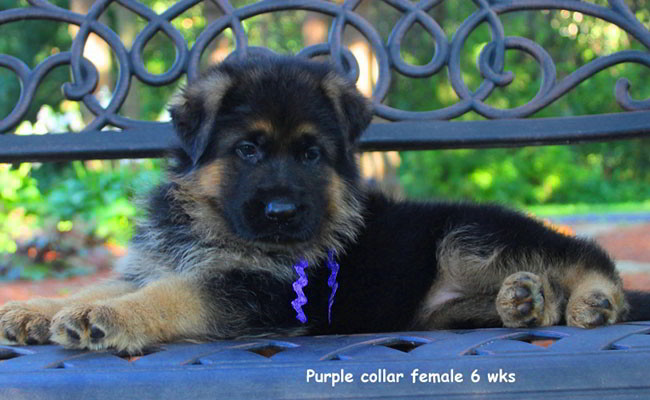 Zuma 6 Weeks Purple