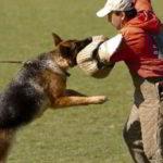 Mittelwest German Shepherds Client Testimonial From Kelly Grim