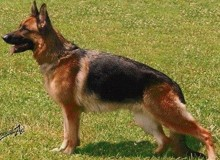 Mittelwest's Retired Breeding Females - V Demi vom Mittelwest SCH2, KKL, LBZ