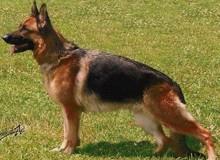 Mittelwest's Retired Breeding Females - V Demi vom Mittelwest SCH2, KKL, LBZ