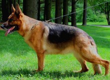 Mittelwest's Retired Breeding Females - V Gilda vom Mittelwest SCH1 (IPO1), KKL
