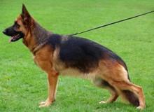 Mittelwest's Retired Breeding Females - V Peyton vom Mittelwest SCH3, KKL, LBZ ZW: 78