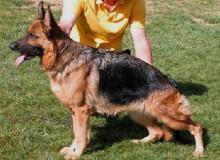 Mittelwest's Retired Breeding Females - V Prada vom Mittelwest SCH2, KKL1A, ZW: 99