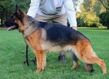 Mittelwest's Retired Breeding Females - V Uschi vom Mittelwest SCH1 (IPO1)