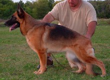 Mittelwest's Retired Breeding Females - V1 Emmy vom Mittelwest SCH3, KKL1A, ZW: 84