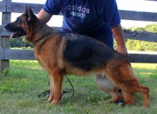 Mittelwest's Retired Breeding Females - V1 Roxy vom Mittelwest SCH2, KKL, LBZ