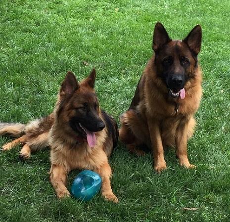 Likor service dog