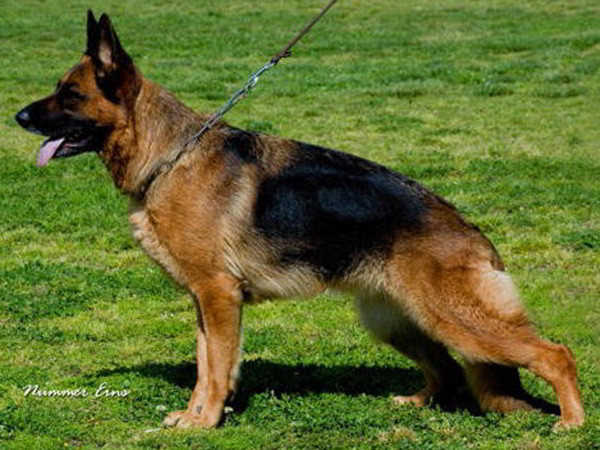 Retired Breeding Female - VA Addie vom Mittelwest 1
