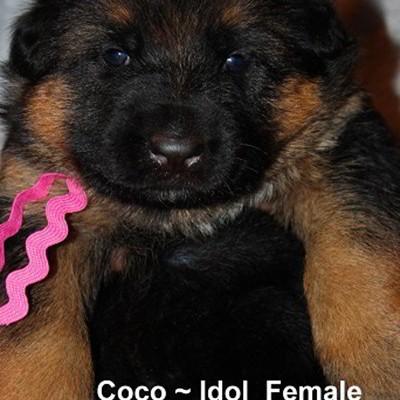 Breeing Female V1 Coco vom Mittelwest - Progeny 10