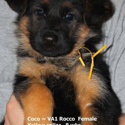 Breeing Female V1 Coco vom Mittelwest - Progeny 39
