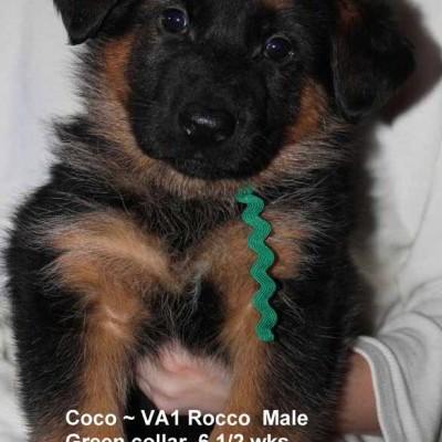 Breeing Female V1 Coco vom Mittelwest - Progeny 40