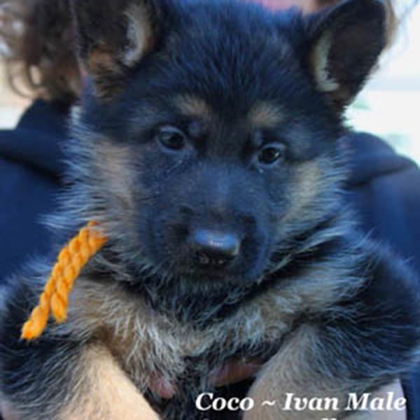 Breeing Female V1 Coco vom Mittelwest - Progeny 54