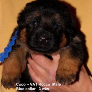 Breeing Female V1 Coco vom Mittelwest - Progeny 56