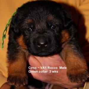 Breeing Female V1 Coco vom Mittelwest - Progeny 57