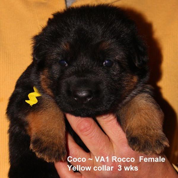 Breeing Female V1 Coco vom Mittelwest - Progeny 59
