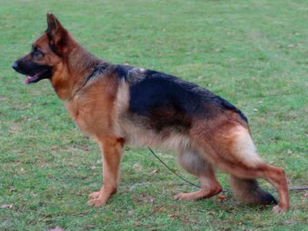 Retired Breeding Female - V1 Larah von Godalis 1