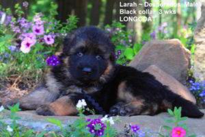 Breeing Female V1 Larah von Godalis - Progeny 1