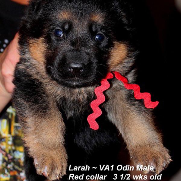 Breeing Female V1 Larah von Godalis - Progeny 101