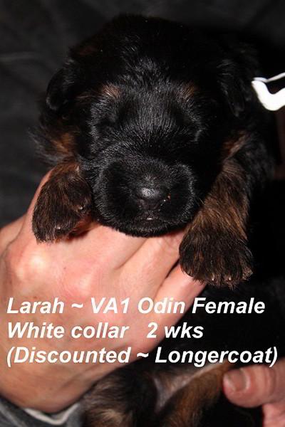 Breeing Female V1 Larah von Godalis - Progeny 20
