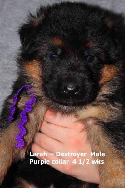 Breeing Female V1 Larah von Godalis - Progeny 39