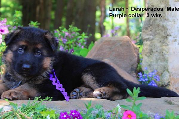 Breeing Female V1 Larah von Godalis - Progeny 5