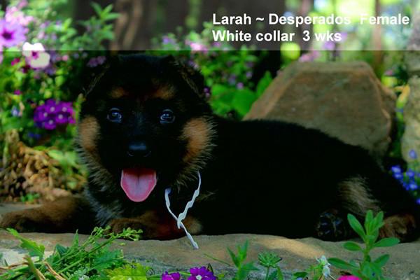 Breeing Female V1 Larah von Godalis - Progeny 6
