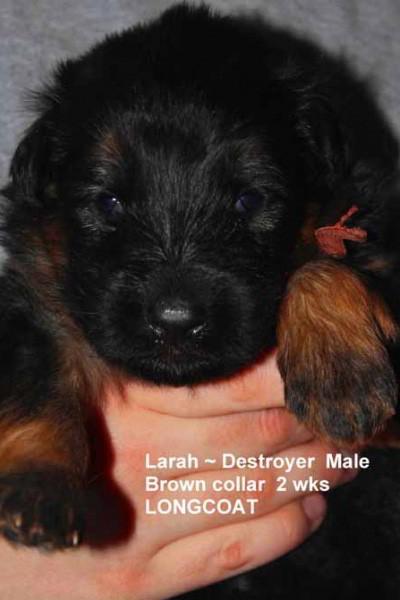 Breeing Female V1 Larah von Godalis - Progeny 60