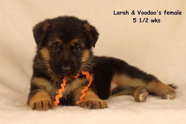 Breeing Female V1 Larah von Godalis - Progeny 8