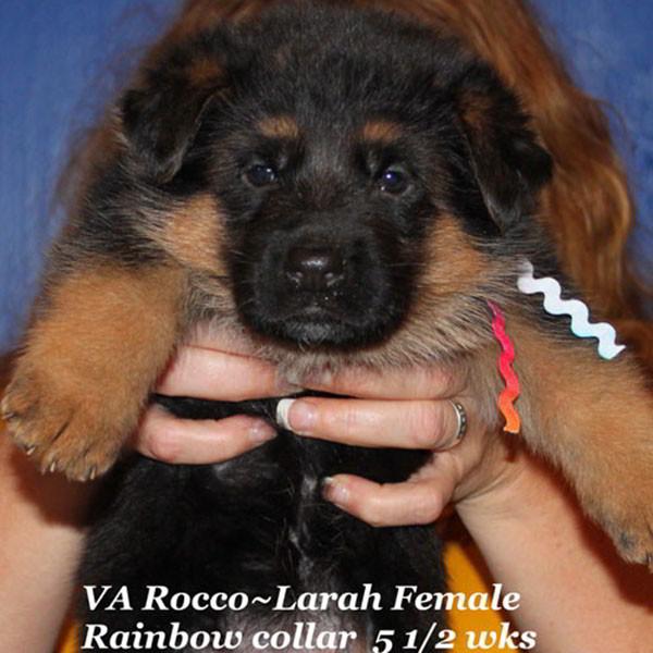 Breeing Female V1 Larah von Godalis - Progeny 84