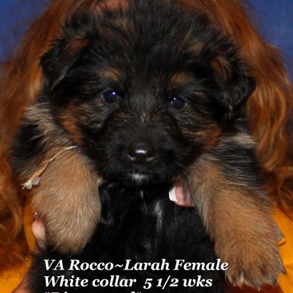 Breeing Female V1 Larah von Godalis - Progeny 85
