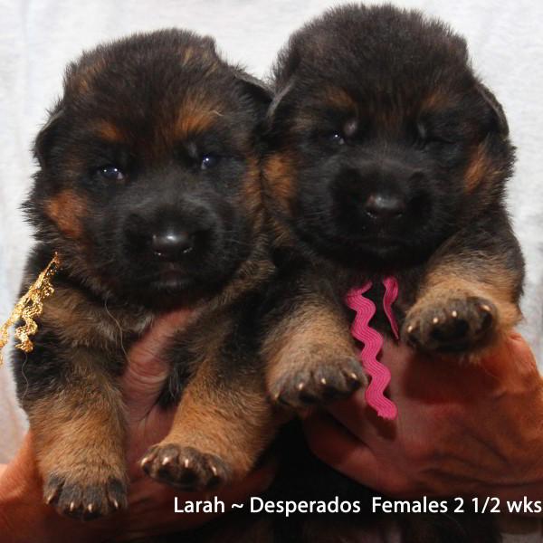 Breeing Female V1 Larah von Godalis - Progeny 90