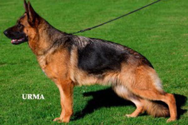 Retired Breeding Female - V Meika vom Mittelwest 1