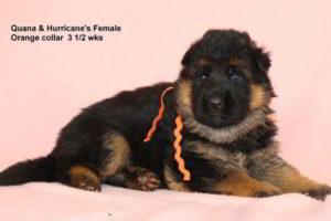 Breeing Female V Quana vom Mittelwest - Progeny 12